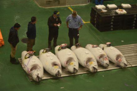 Seis atuns a serem leiloados num dos mais famosos mercados de Tóquio, no Japão. Foto de Edo-mura no toku zō