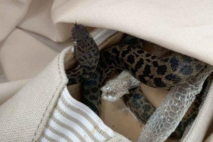 Cobra descoberta dentro de um sapato depois de fazer uma viagam de avião entre a Austrália e o Reino Unido