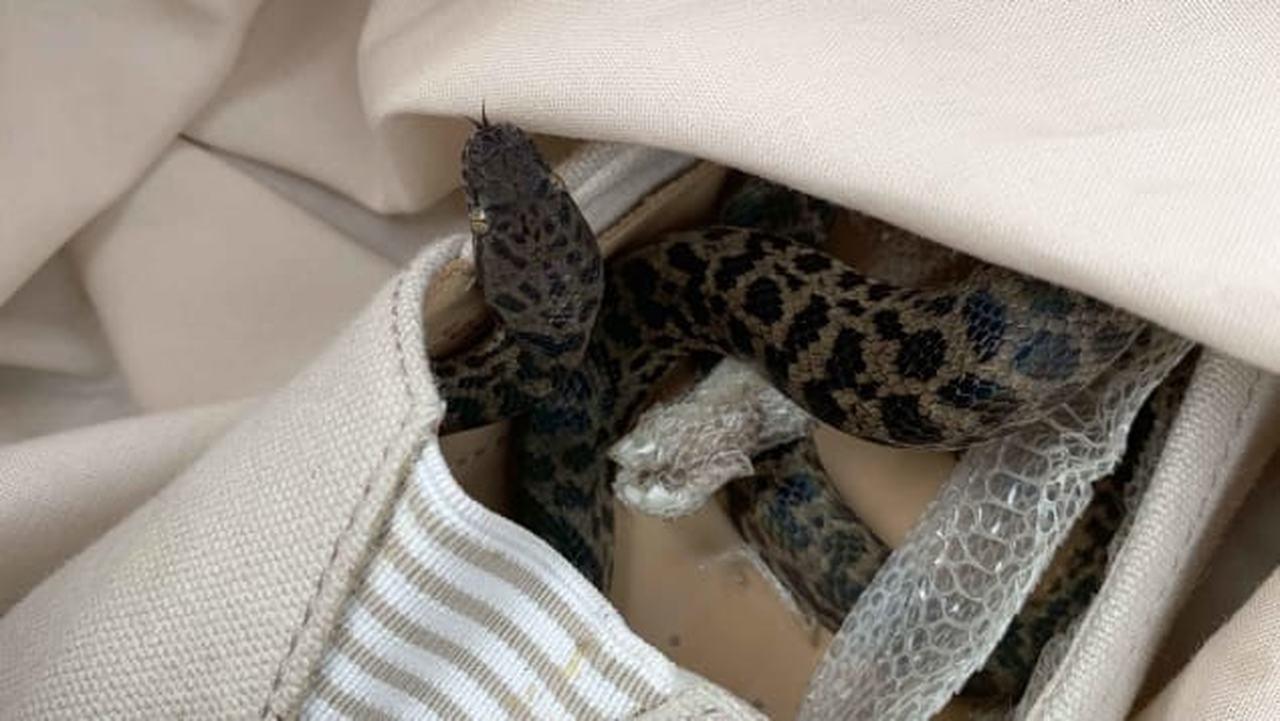 Cobra píton encontrada no sapato de uma mulher após voo de