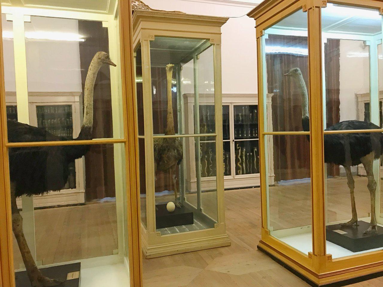 Três avestruzes embalsamadas em exposição no Museu da Ciência da Universidade de Coimbra. Foto de Diogo Pereira