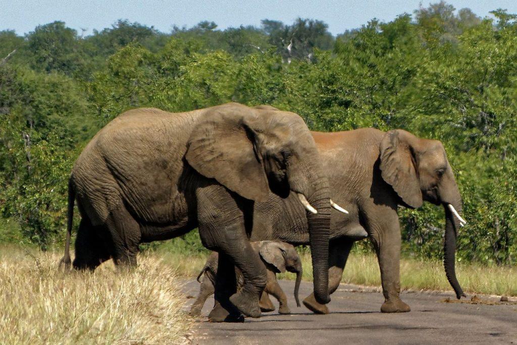 Elefantes no parque Kruger de África do Sul. Foto de Pixabay