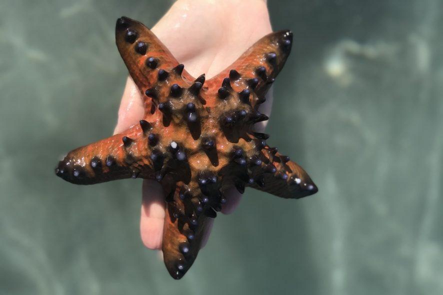 Estrela-do-mar-de-Ataúro-em-Timor-Leste.-Foto-de-Mariana-Torres
