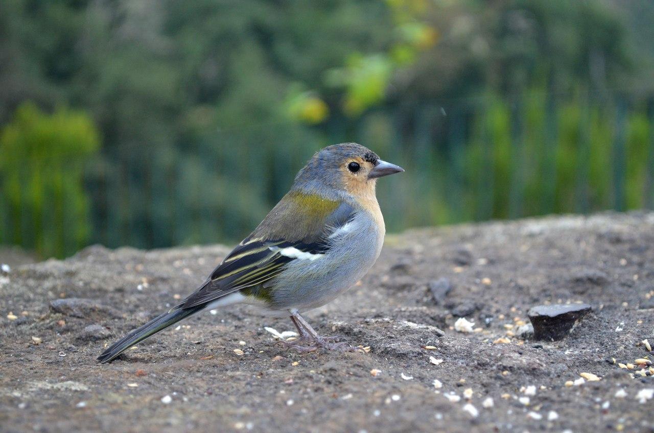Pássaro Tentilhão fotografado no Miradouro dos Balcões na Madeira