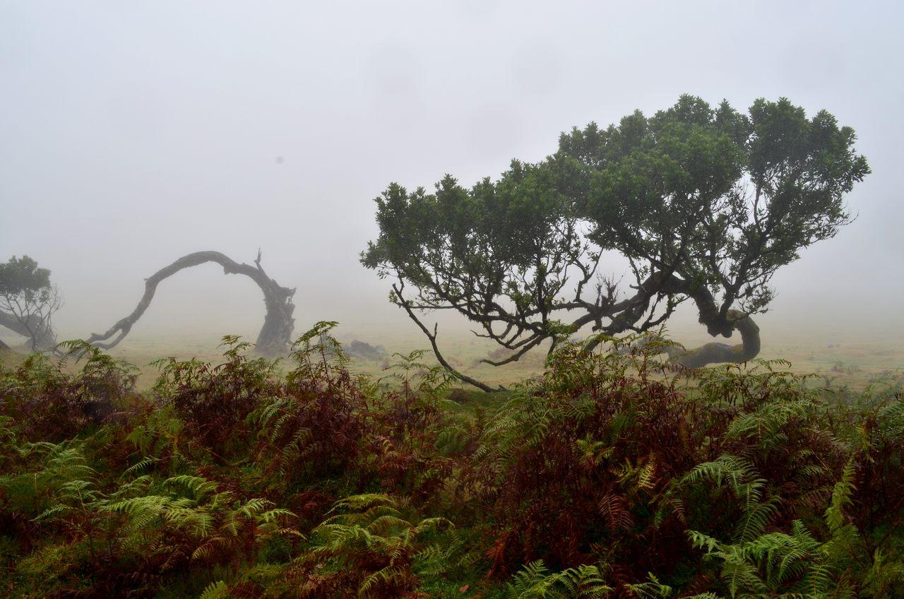 Bosque do Fanal na Madeira
