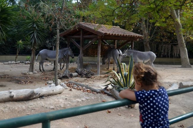 Criança observa zebras no Jardim Zoológico de Lisboa