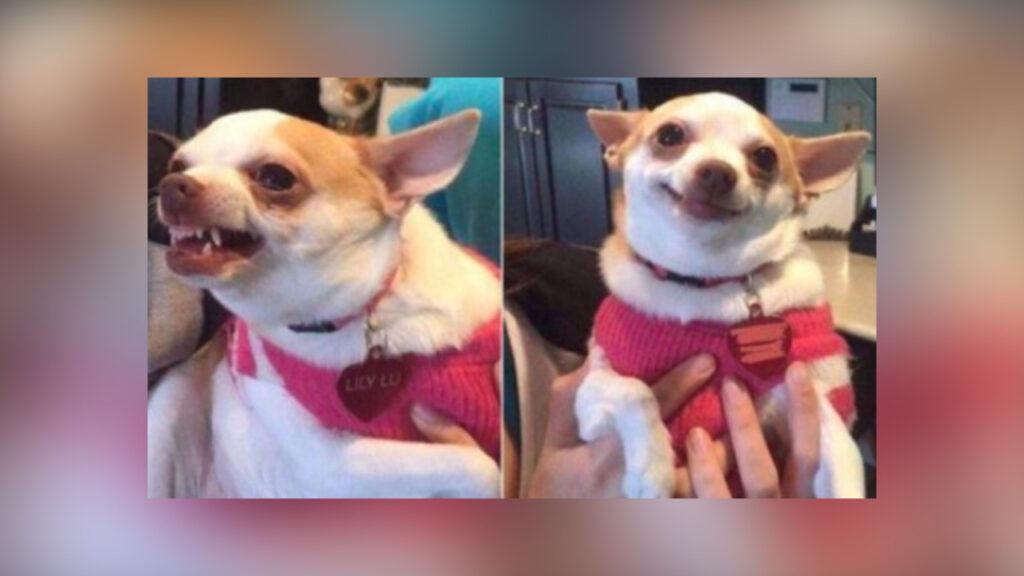 cão Chihuahua